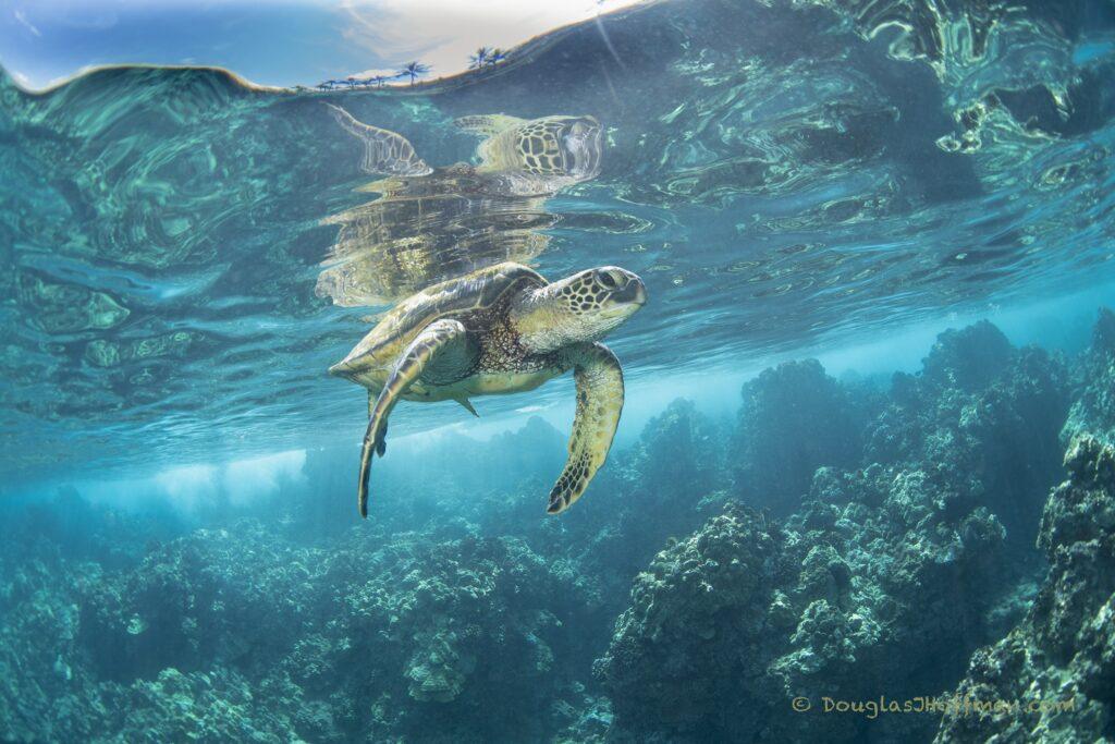 Green Sea Turtle Fine Art Photography